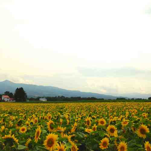 2015-08-11_Niseko_SunFlowerFiled2_low.jpg